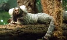 Бразильские обезьяны усвоили видеоурок австрийских сородичей